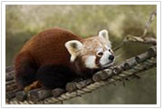The red panda is found in the Himalayan foothills, which extend through Northeast India.